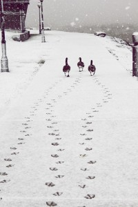 Geese snow-and-ice-geese